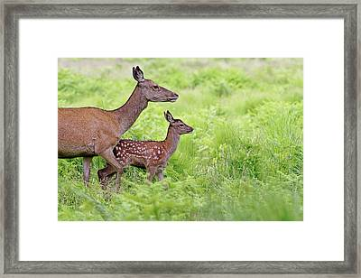 Red Deer Doe And Fawn Framed Print by Mcdonald P. Mirabile