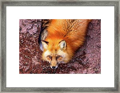 Red Fox In Canyon, Arizona Framed Print