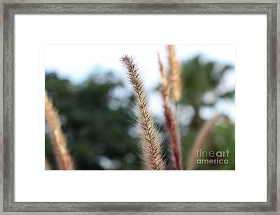Red Grass - Pennisetum Setaceum 'rubrum' Framed Print
