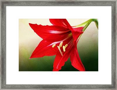 Red Lily Flower Framed Print