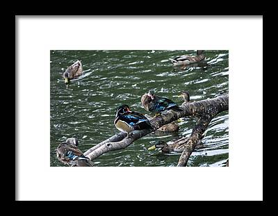 Duck Framed Prints