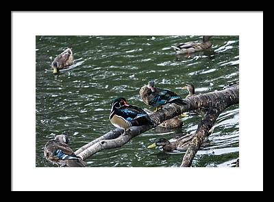 Water Bird Framed Prints