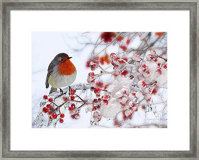 Robin And Berries Framed Print