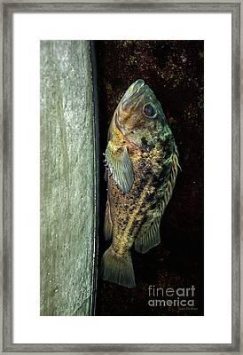 Rockfish Relaxing Framed Print