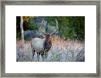 Rocky Mountain Wildlife Bull Elk Sunrise Framed Print