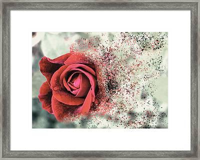 Rose Disbursement Framed Print