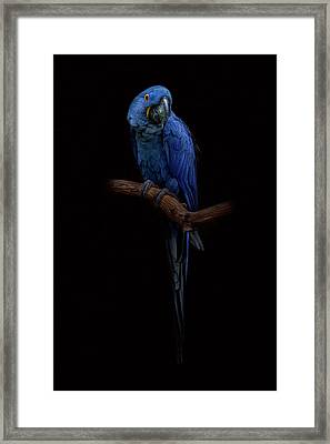 Royal Blue Beauty  Framed Print
