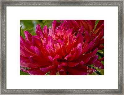Ruby Red Dahlia Framed Print
