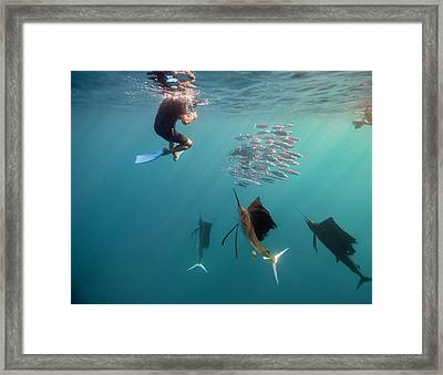Sailfish And Snorkeler Standoff Framed Print by By Wildestanimal