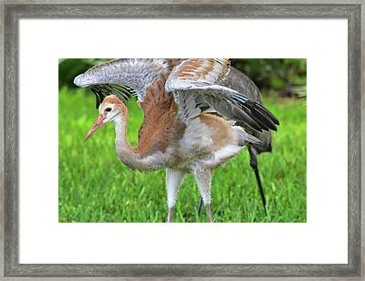 Sandy Crane Shows New Feathers Framed Print