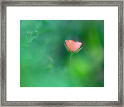 Scarlet Pimpernel Framed Print