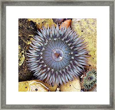 Sea-flower - Anemone Framed Print