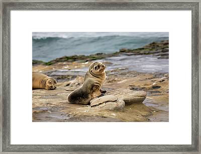 Sea Lion Pup Framed Print by K Pegg