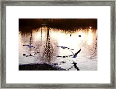 Seagulls In The Morning Framed Print