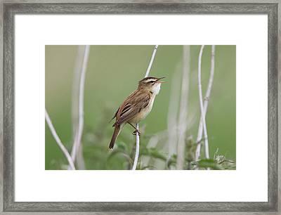Sedge Warbler - Acrocephalus Framed Print by Mark L Stanley