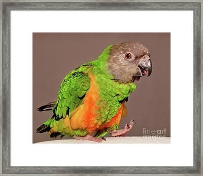 Senegal Parrot Framed Print