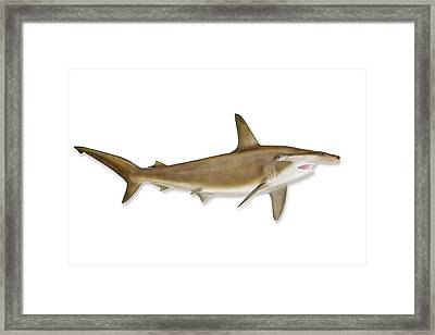 Shark With Clipping Path Framed Print by Georgepeters