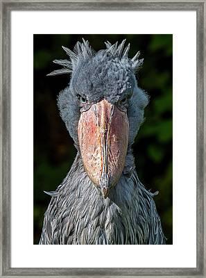 Shoe-billed Stork Framed Print