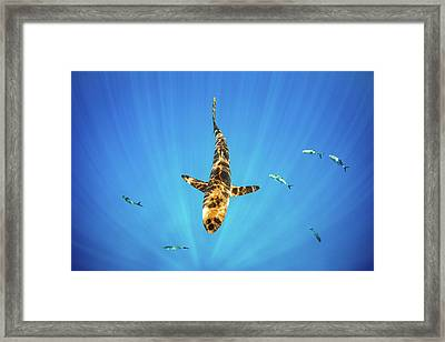 Silky Shark Framed Print