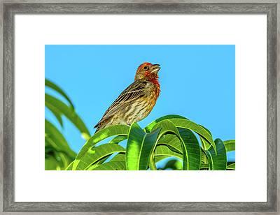 Singing House Finch Framed Print