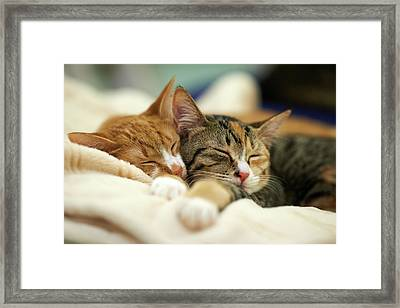 Sleeping Kittens Framed Print by Akimasa Harada