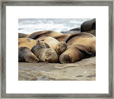 Sleeping Sea Lions Framed Print by K Pegg
