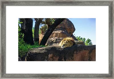 Sleepy Lion Framed Print