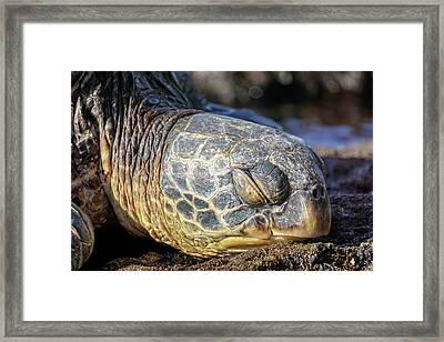 Sleepy Maui Sea Turtle Framed Print