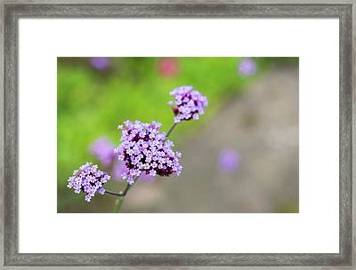 Framed Print featuring the photograph Small Purple Flowers by Scott Lyons