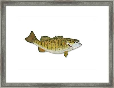 Smallmouth Bass With Clipping Path Framed Print by Georgepeters