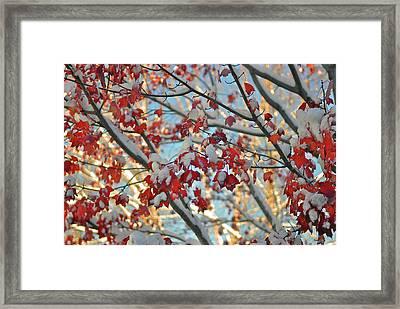 Snow On Maple Leaves Framed Print