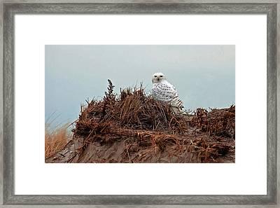 Snowy Owl In The Dunes Framed Print