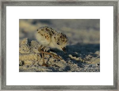 Snowy Plover On The Hunt Framed Print