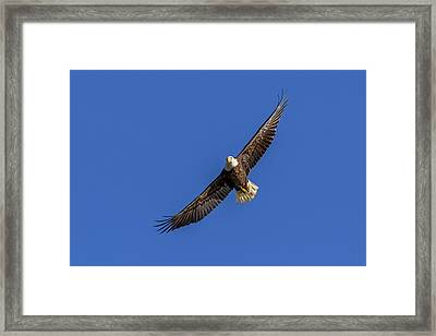 Framed Print featuring the photograph Soaring Eagle by Lori Coleman