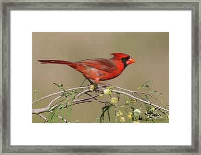 South Texas Cardinal Framed Print