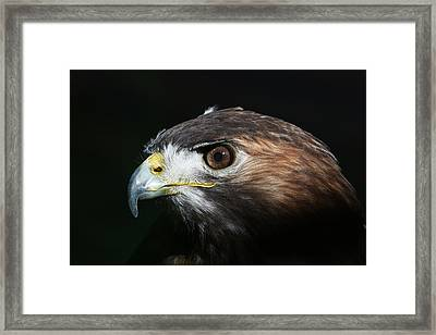 Framed Print featuring the photograph Sparkle In The Eye - Red-tailed Hawk by Debi Dalio