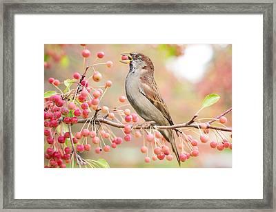 Sparrow Eating Berries Framed Print