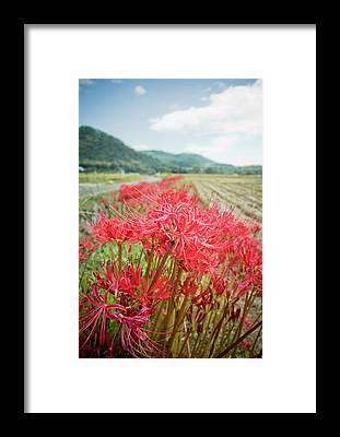 Spider Lily Framed Prints