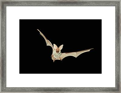 Spotted Bat Euderma Maculatum Flying At Framed Print by Michael Durham/ Minden Pictures