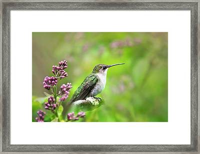 Framed Print featuring the photograph Spring Beauty Ruby Throat Hummingbird by Christina Rollo