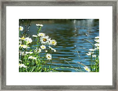 Spring Daisy Framed Print