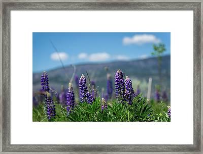 Spring Lupines Framed Print
