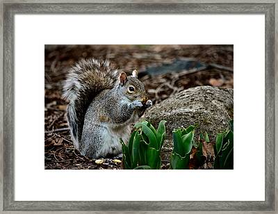 Squirrel And His Dinner Framed Print