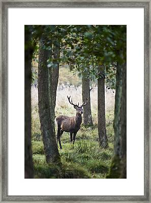 Stag In The Forest Framed Print by Niels Busch
