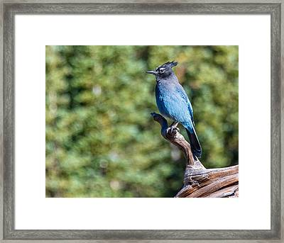Framed Print featuring the photograph Stellers Jay 1 by Rand