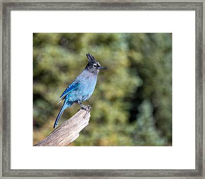 Framed Print featuring the photograph Stellers Jay by Rand