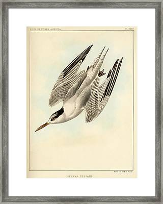 Sterna Elegans Framed Print