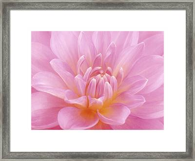 Still Life Photograph, Close-up Of Pink Framed Print by Abdul Kadir  Audah