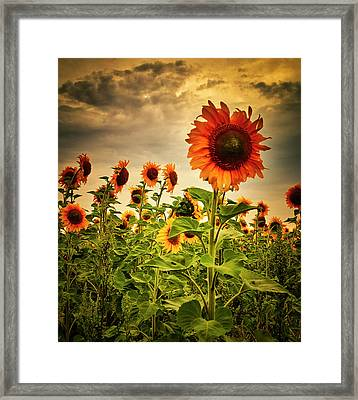 Framed Print featuring the photograph Sunflowers. Horytsya, 2014. by Andriy Maykovskyi