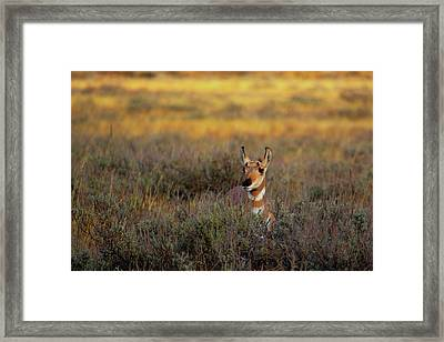 Framed Print featuring the photograph Sunset Pronghorn by Pete Federico